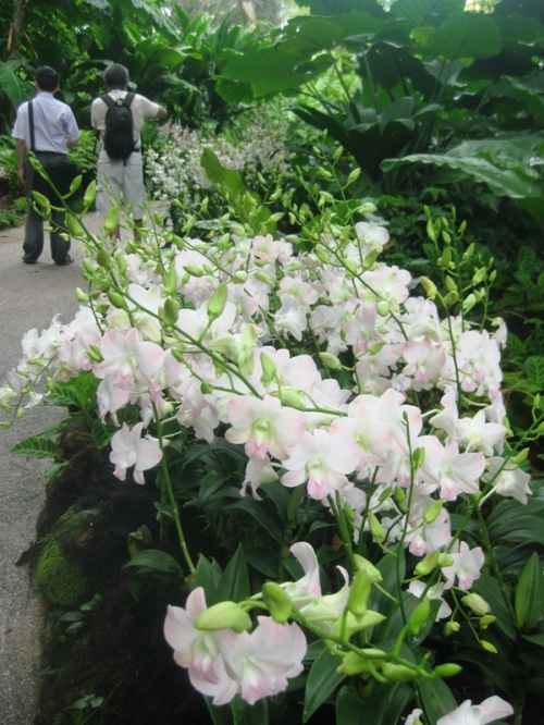 National orchid garden 5