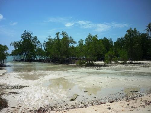di batam, bakau tumbuh di atas lumpur. di trikora, bakau tumbuh di atas pasir putih :)