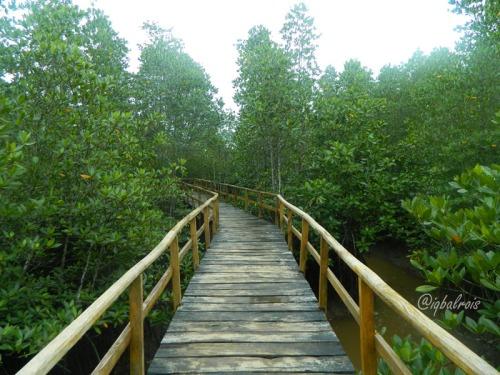 mangrove sei carang 3