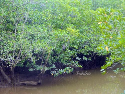 mangrove sei carang 8