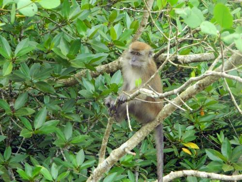 mangrove sei carang 9